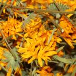 Fleurs de souci séchées
