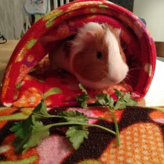 Luigi le cochon d'Inde