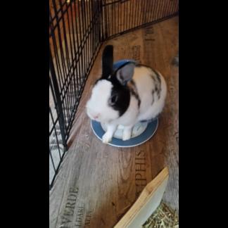 picasso le lapin